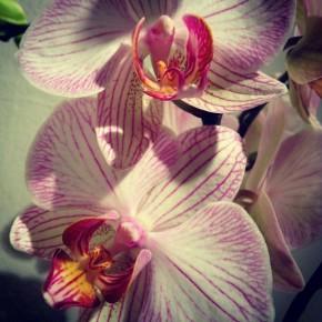 Pianta Orchidea Phalenopsis